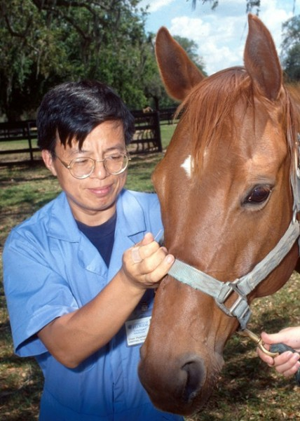 Performing acupuncture on a horse.