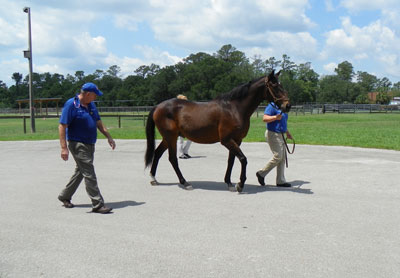 Dr. MacKay looks for gait abnormalities, such as stride symmetry, as the horse walks