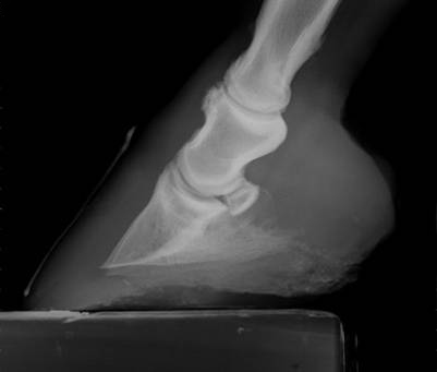 Equine Hoof Radiograph