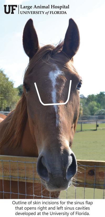 sinus flap equine surgery UF