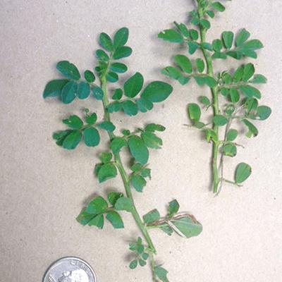 Indigo spicata specimens