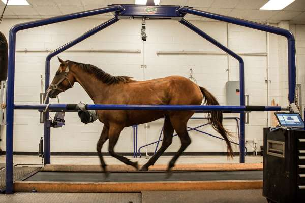 Horse on the Equine Performance Treadmill